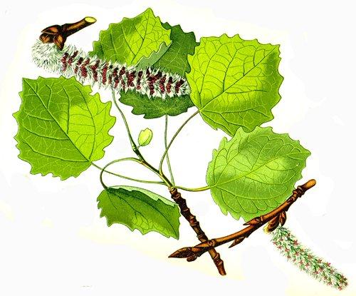 Кора и листья осины